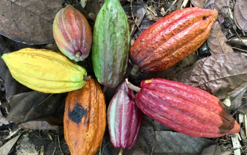 BlueFoot_Travel_Grenada_Cocoa_Beans
