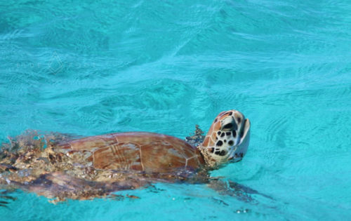 A turtle coming up for breath next to Nemo in Tobago Cays