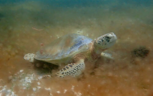 A green turtle in Tobago Cays