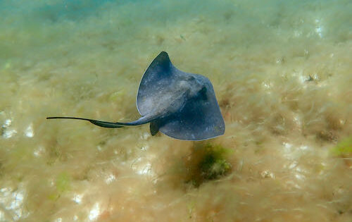 A Caribbean Ray swimming in The Tobago Cays