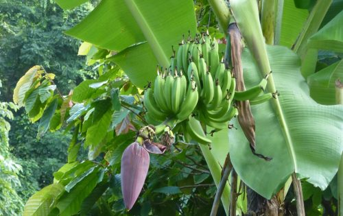 Fresh bananas growing in Grenada