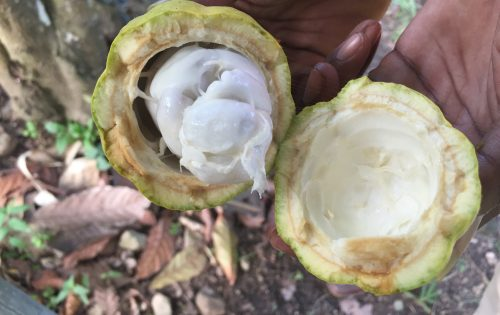 Fresh cocoa beans seen on Grenada with BlueFoot Travel